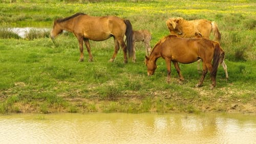 Foal and Its Mother in a Sunny Meadow. Horses and Foal Graze in a Meadow.
