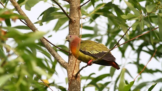 Thumbnail for Wild Pink Necked Green Pigeon I