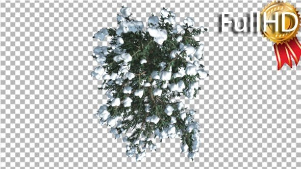 White Fir Thin Top Down Snow Coniferous Evergreen