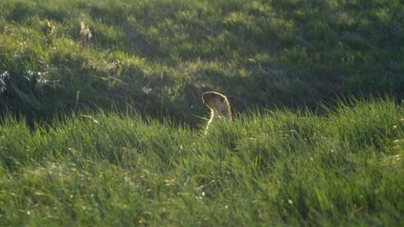 Cover Image for Groundhog on a Background of Green Grass.