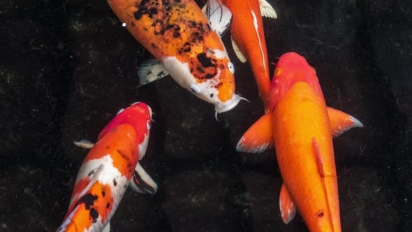 Thumbnail for Multicoloured Koi Fish Swimming Graceful in a Water of an Garden, Colorful Koi Fish in the Pond with