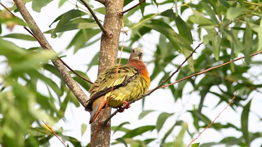 Thumbnail for Wild Pink Necked Green Pigeon III