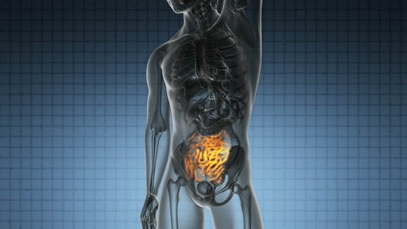 Cover Image for Anatomy Scan of Human Small Intestine