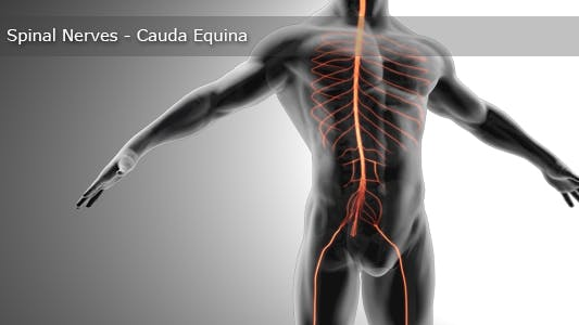 Thumbnail for Spinal Nerves - Cauda Equina