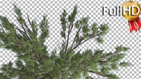 Thumbnail for Crown of Loblolly Pine Coniferous Evergreen Tree