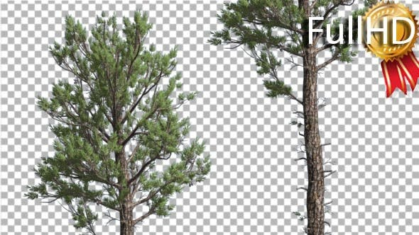 Thumbnail for Trees in Forest Loblolly Pines Coniferous