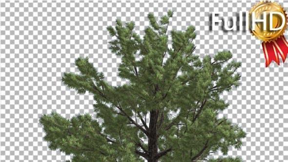 Top of Tree Loblolly Pine Coniferous Evergreen
