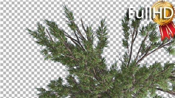 Thumbnail for Pine Crown Pinus Taeda Loblolly Pine Coniferous