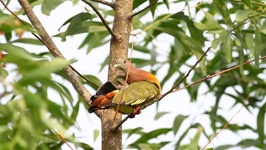 Cover Image for Pink Necked Green Pigeon Full HD IV