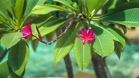 Thumbnail for Vivid Red Petals and Stems of Blossom Plumeria Swinging on the Wind, Blue Ocean on Background