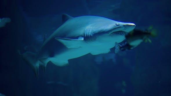 Thumbnail for Shark Swimming Underwater