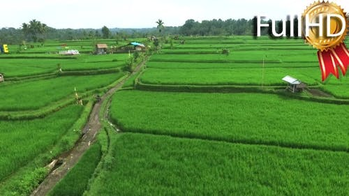 Aerial View of Rice Fields in the Countryside