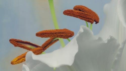 Staubbeutel einer Lilie