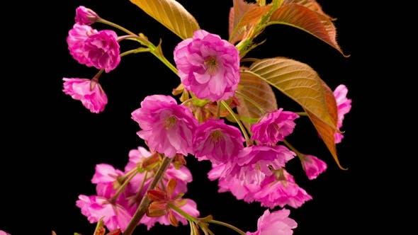 Thumbnail for Pink Sakura Tree Flowers