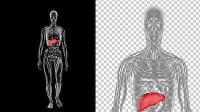 Woman Anatomy Liver