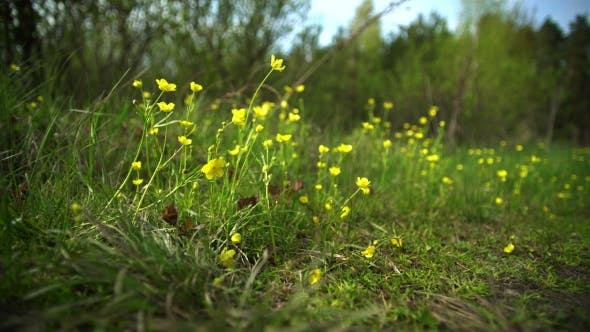 Thumbnail for Wild Flowers on a Lawn in the Forest