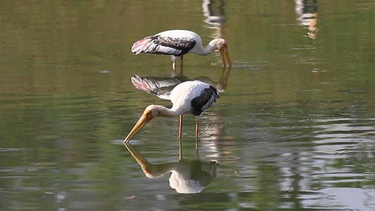 Thumbnail for Painted Storks Fishing