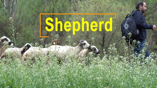 Thumbnail for Sheep