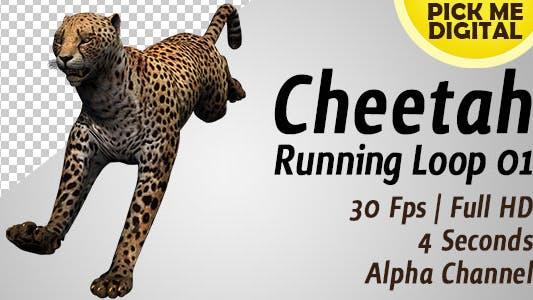 Cover Image for Cheetah Running Loop 01