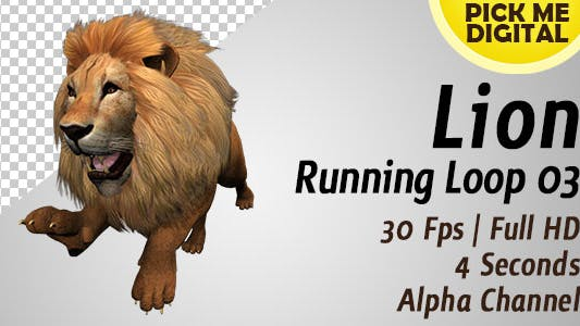 Lion Running Loop 03