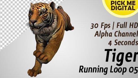 Tiger Running Loop 05
