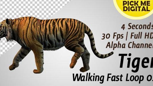 Thumbnail for Tiger Walking Fast Loop 01