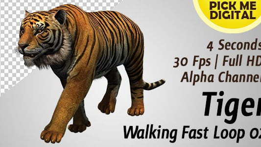Cover Image for Tiger Walking Fast Loop 02