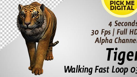 Tiger Walking Fast Loop 03