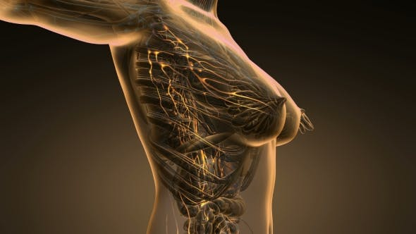Thumbnail for Anatomy of Woman Limphatic System