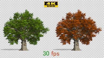 Oak Autumn Tree Animation