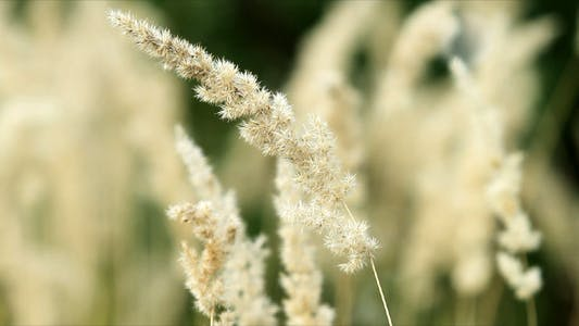 Thumbnail for Dried Grass