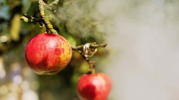 Wedding Rings on a Tree with Apples and Smoke