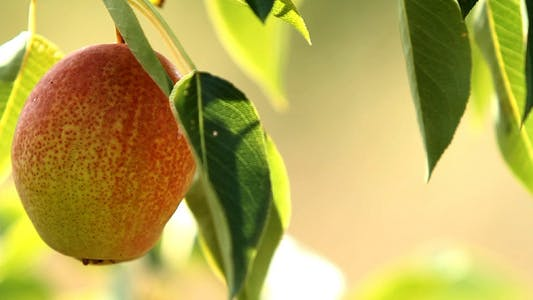 Cover Image for Pear Growing On Tree