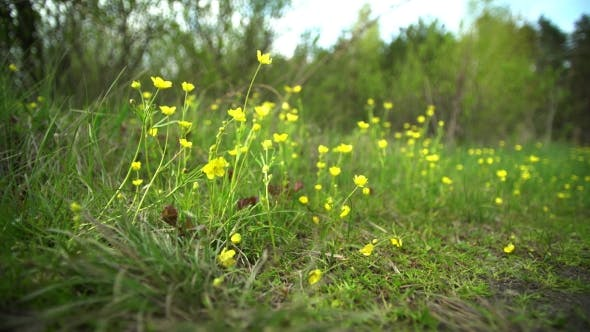 Thumbnail for Yellow Flowers in Early Spring, Primroses in the Forest on the Lawn