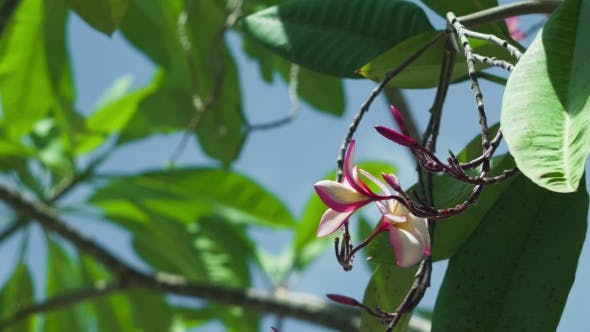Thumbnail for Petals and Stems of Pink Blossom Plumeria Flower Moving By the Wind. Green Leaves Swinging in the