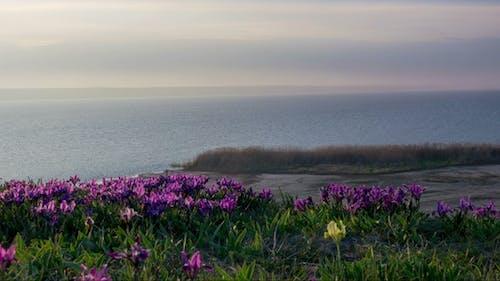 Violett und gelbe Iris auf der Wiese