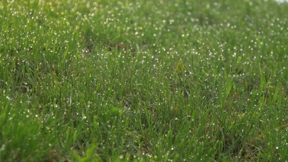 Thumbnail for Dew on the Grass