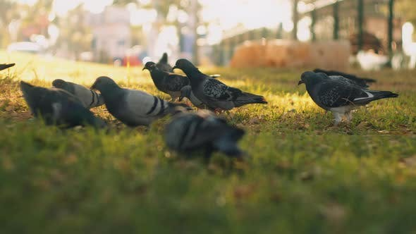 Cover Image for Close up of city pigeons eating food on the green grass at the park.