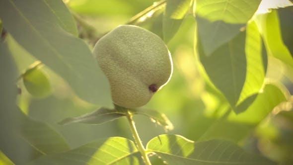 Thumbnail for Walnut Hanging on Walnut Tree in Sun Flares
