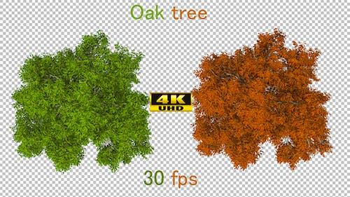 Top Down Oak Tree