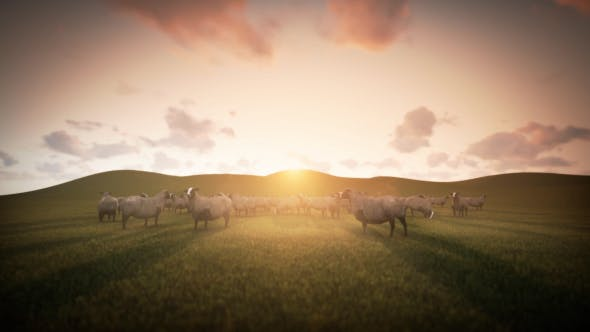 Thumbnail for Group of Sheeps Grazing in the Field