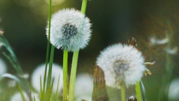 Thumbnail for Dandelion Heard Slightly Moved By the Wind Breeze, Seeds Falling Down, Sunlight Flares and Round