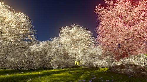 Morning Blossoming Sakura 4K
