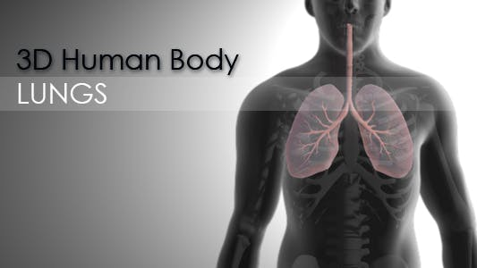 Thumbnail for 3d Human Body - Lungs