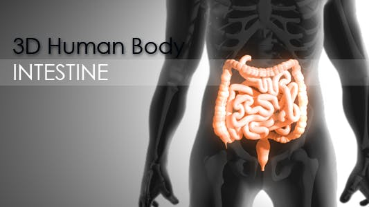 Thumbnail for 3d Human Body - Intestine