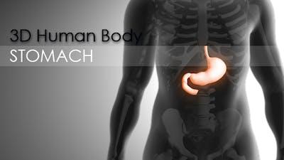 3d Human Body - Stomach