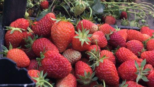 Thumbnail for Fruchtfleisch