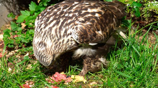 Thumbnail for Breakfast Falcon