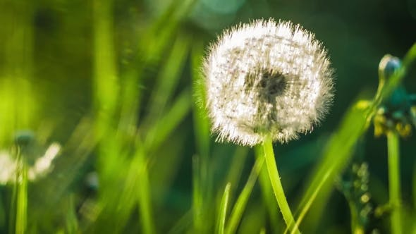 Thumbnail for Seed Head of Dandelion, Sunlight Flares Comming From the Left Site,