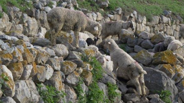 Thumbnail for Sheep Pasture on Mountain